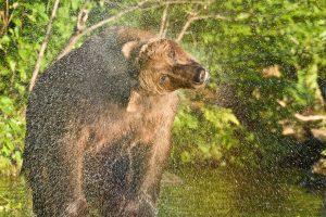 Brown Bear Shaking